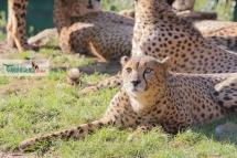cheetahs sunbathing 10