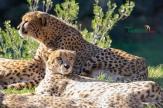 cheetahs sunbathing 3
