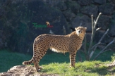 cheetahs sunbathing 4