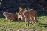 cheetahs sunbathing 5
