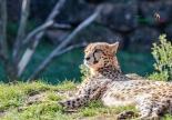 cheetahs sunbathing 6