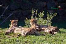 cheetahs sunbathing 7