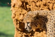 cheetahs sunbathing 8