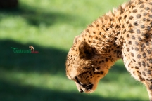Close up photo taken of a cheetah, the fastest land animal, with its face looking down