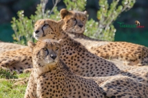 cheetahs sunbathing 11
