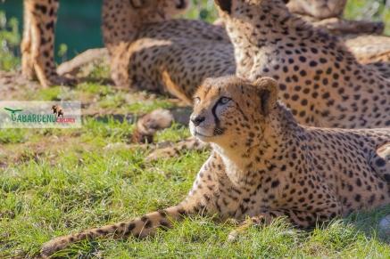cheetahs sunbathing 12