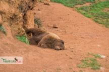 brown bear nap 5