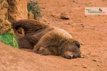 brown bear nap 4