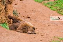 brown bear nap 2