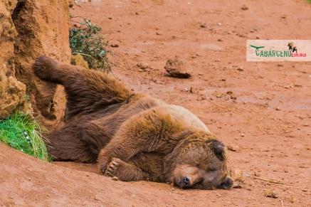 brown bear nap
