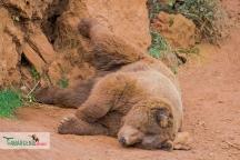 brown bear nap 6